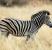 pourquoi zebre